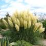 Кортадерия желтая