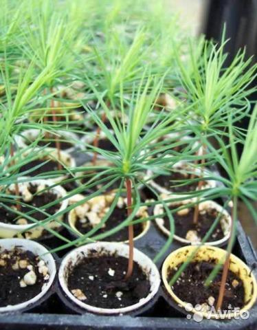Как вырастить семена сосны в домашних условиях