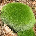 Leucobryum