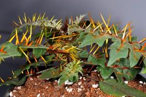 Solanum pyrac5