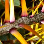 Solanum pyrac7
