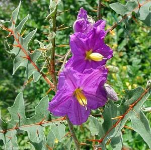 Solanum_pyrac1