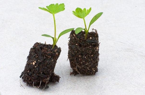 Удобный способ выращивания рассады