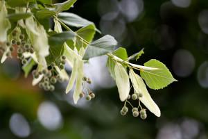 Липа Сердцелистная, Липа Мелколистная (Tilia cordata)