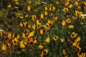 Гесперанта согнутая (Hesperantha vaginata)