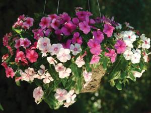 Барвинок ампельный F1 - Catharаnthus rоseus (Vinca rosea)