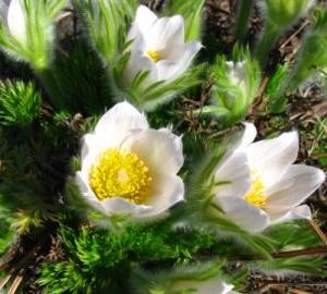 Сон-трава, или Прострел обыкновенный (Pulsatilla vulgaris)