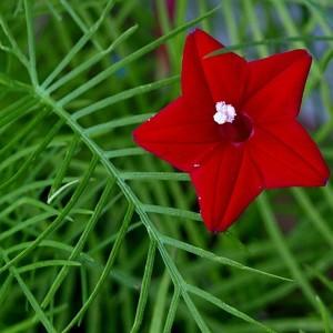 Ипомея Квамоклит (Ipomoea quamoclit)