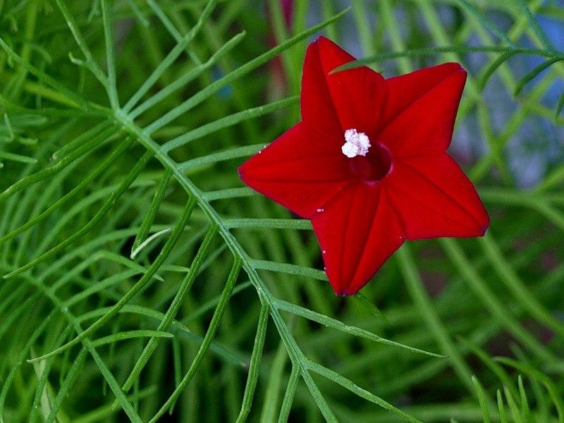 Картинка растение звездочка