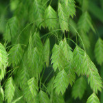 Хасмантиум широколистный (Chasmanthium latifolium)