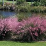 Мюленбергия волосовидная (Muhlenbergia capillaris)