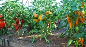 Как формировать перец, высокий урожай перца