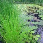 Болотница болотная