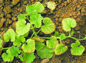Недостаток (дефицит)к азота в растениях