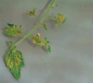 Переизбыток хлора в растениях
