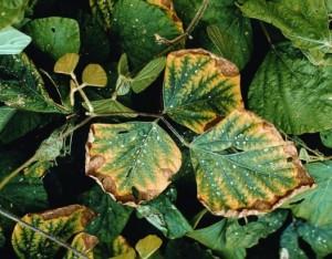 Недостаток (дефицит) фосфора в растениях