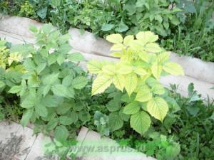 Недостаток (дефицит) железа в растениях
