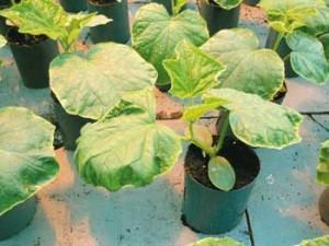 Недостаток (дефицит) кальция в растениях