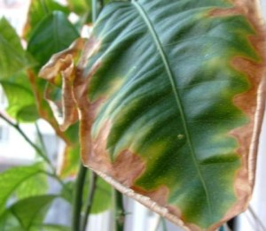 Недостаток (дефицит) калия в растениях