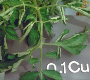 Недостаток (дефицит) меди в растениях