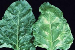 Недостаток (дефицит) молибдена в растениях