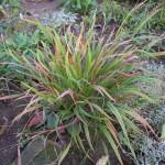 Коротконожка лесная (Brachypodium sylvaticum)