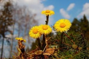 Мать-и-мачеха цветет, пора сеять огород