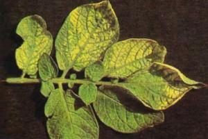 Переизбыток меди в растениях
