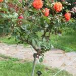 Штамбовая роза из группы флорибунда сорт Anabell