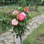 Штамбовая роза из группы флорибунда сорт Jubile du Prince Monako