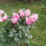 Штамбовая роза из группы флорибунда сорт Regensberg