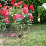 Штамбовая миниатюрная роза сорт Мальчик-с-Пальчик