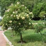 Штамбовая роза из группы почвопокровных сорт Kent