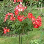 Штамбовая роза из группы почвопокровных сорт Rouge Meillandecor