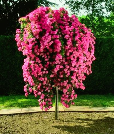 Дерево из роз видео