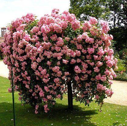 Штамбовая роза — красавица в саду
