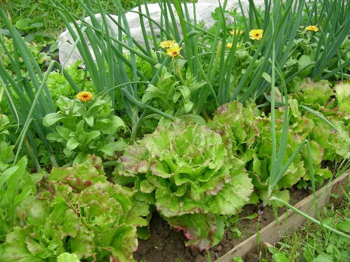 Комбинируем правильно овощи на грядке
