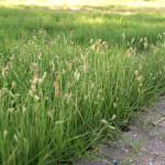 Зубровка южная (Hierochloe australis (Swartz))