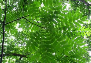 Орех маньчжурский или Орех думбейский (Juglans mandshurica)