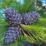 Кедр сибирский, или Сосна сибирская кедровая (Pinus sibirica)
