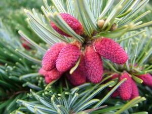 Пихта миловидная (Abies amabilis)
