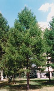 Лиственница тонкочешуйчатая, или Лиственница Кемпфера (Larix kaempferi)