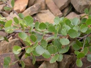 Берёза карликовая, берёза малорослая или берёза карличная (Betula nana)