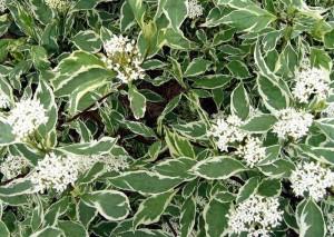 Дерен белый Карантус (Cornus alba)
