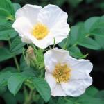 Роза морщинистая 'Alba', или Шиповник белый