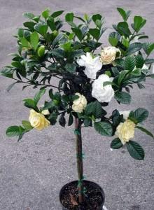 Гардения жасминовидная (штамбовое дерево)