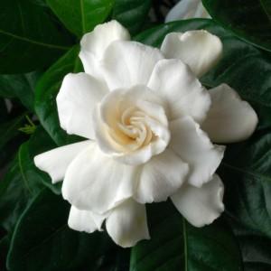 Гардения жасминовидная (Gardenia jasminoides)