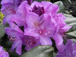 "Рододендрон катевбинский ""Boursault"" (Rhododendron Catawbiense ""Boursault"")"