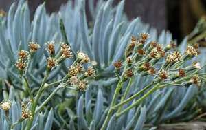 Клейния - Kleinia mandraliscae