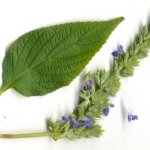 Чиа, или Шалфей испанский (Salvia hispanica)